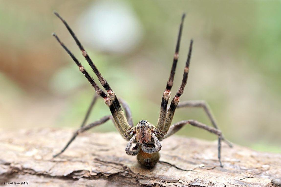 Aranha-armadeira (Phoneutria sp)