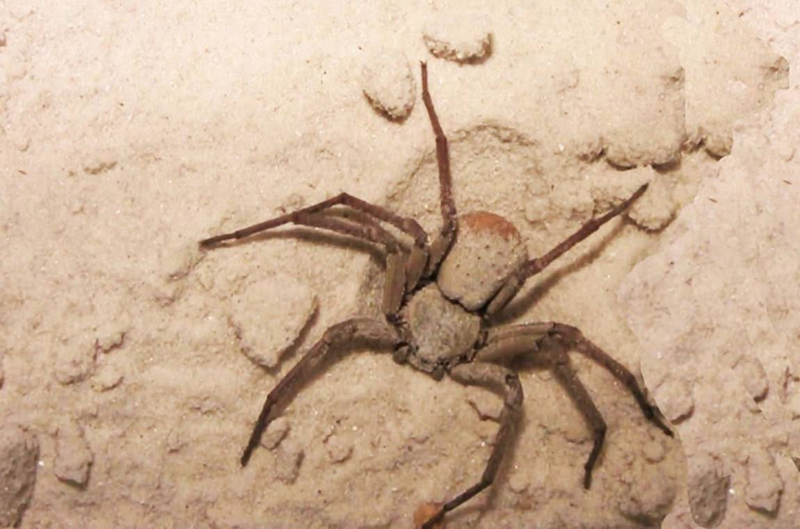 Aranha-da-areia (Sicarius sp)