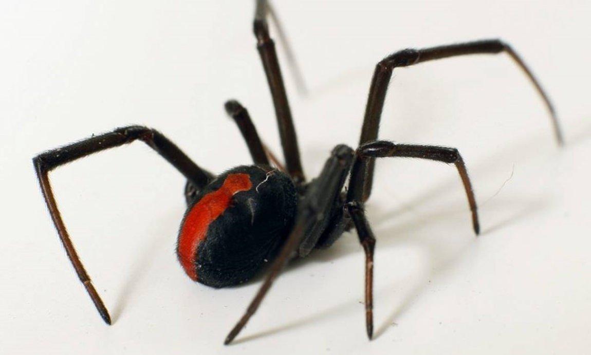 Aranha-de-costas-vermelhas (Latrodectus hasseltii)