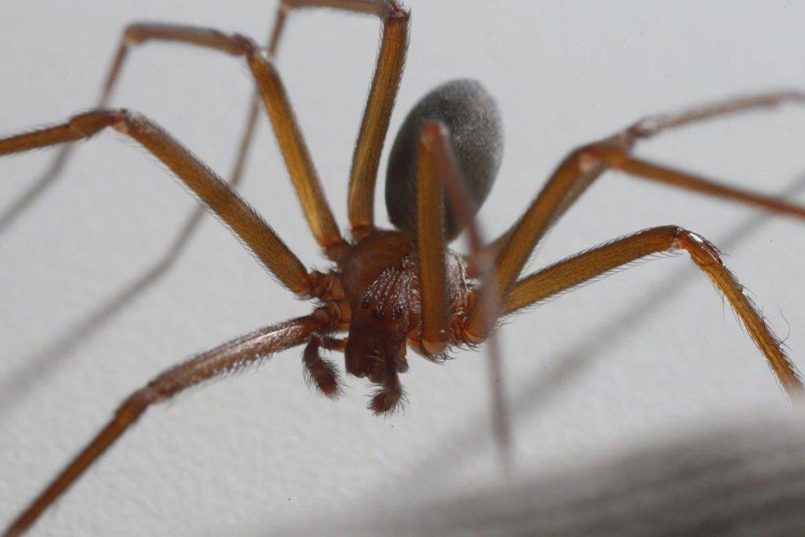Aranha-marrom (Loxosceles)