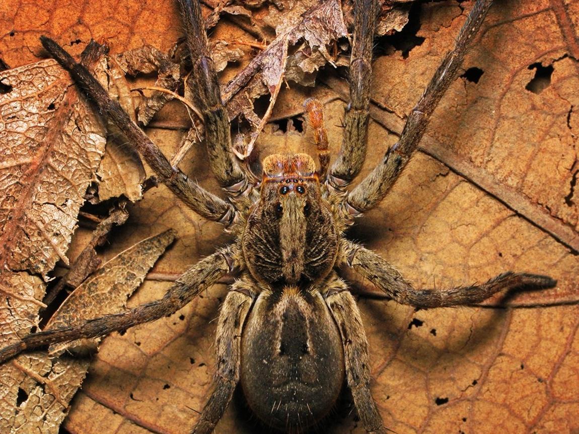 Aranha-dos-pés-pretos (Lycosa erythrognatha)