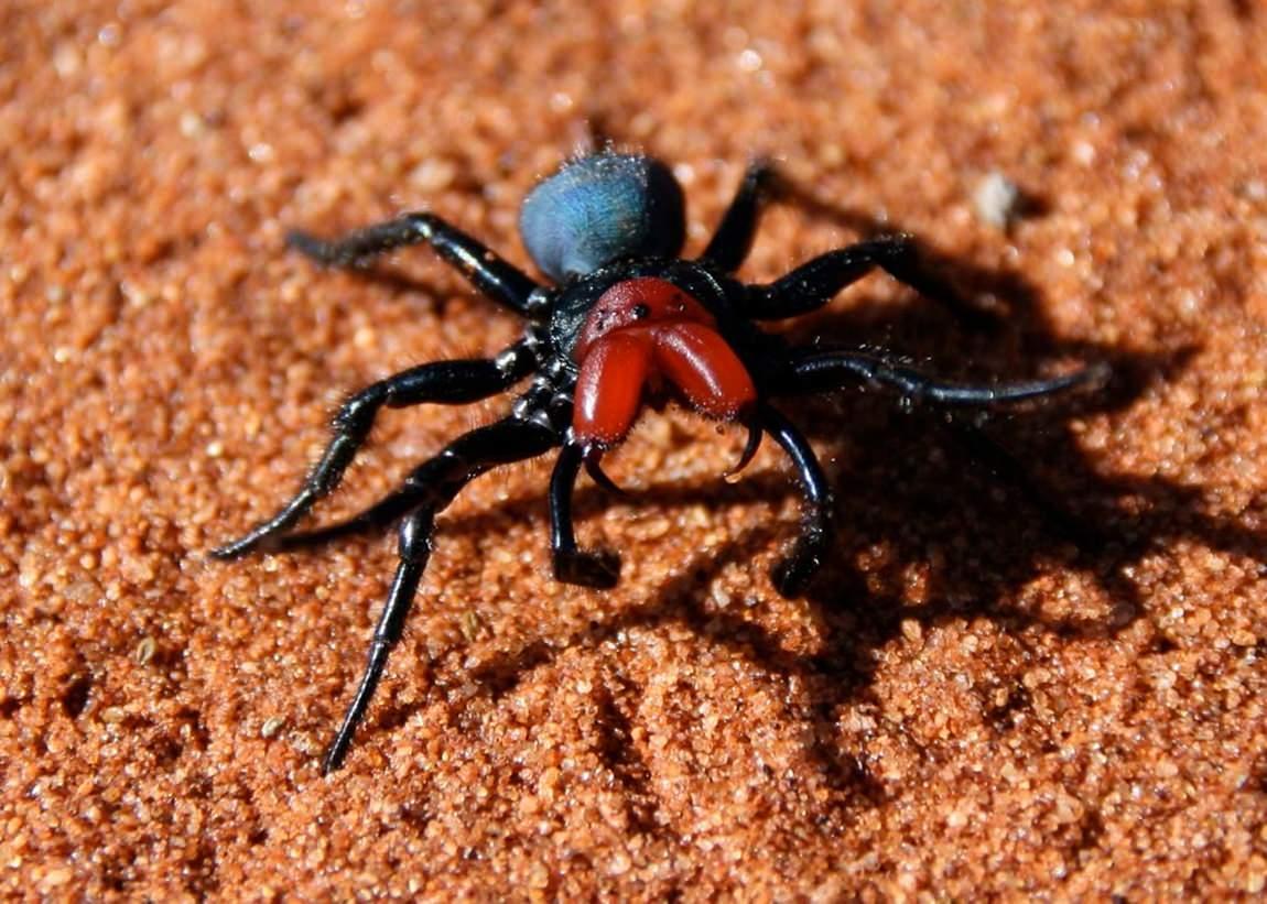 Aranha-rato (Missulena Ocatoria)