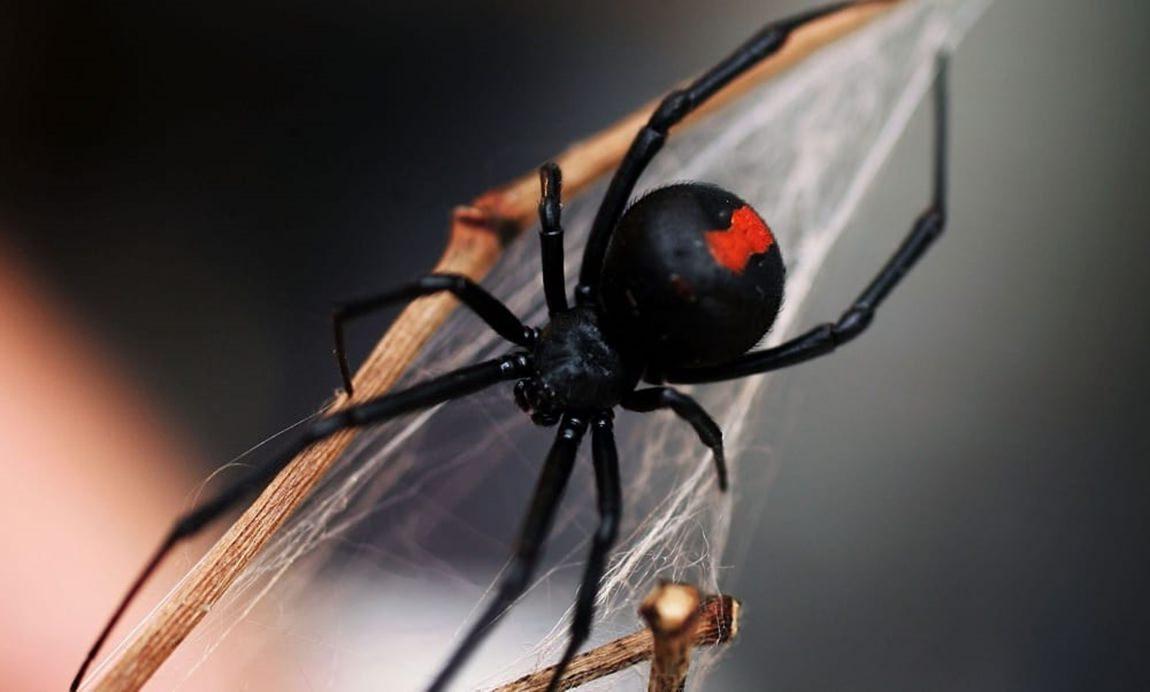 Aranha Viúva-negra (Latrodectus mactans)
