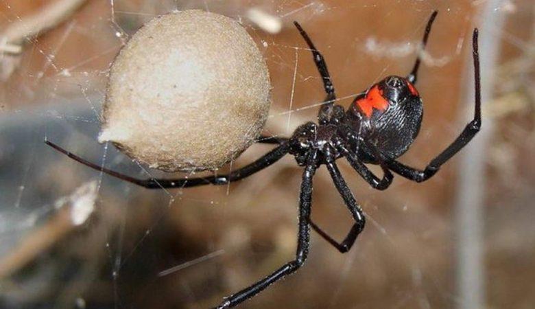 As aranhas mais perigosas