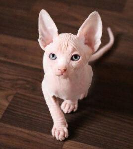 6 das mais Raras Raças de Gato 15