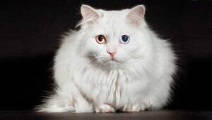 6 das mais Raras Raças de Gato 17