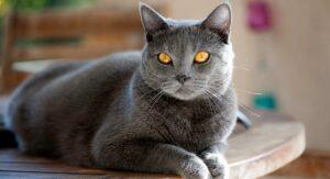 6 das mais Raras Raças de Gato 19