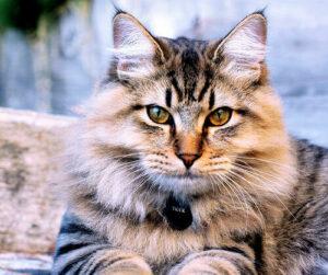 6 das mais Raras Raças de Gato 18