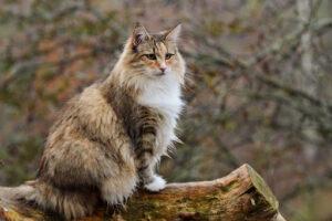 6 das mais Raras Raças de Gato 25