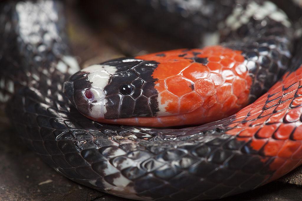 9 Cobras mais perigosas e venenosas do mundo 21