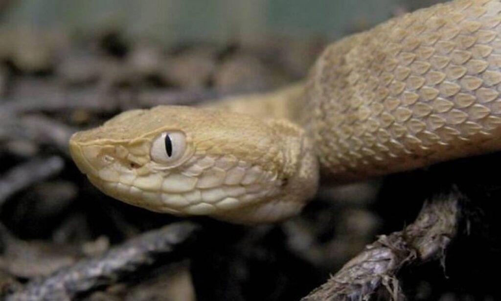 9 Cobras mais perigosas e venenosas do mundo 22