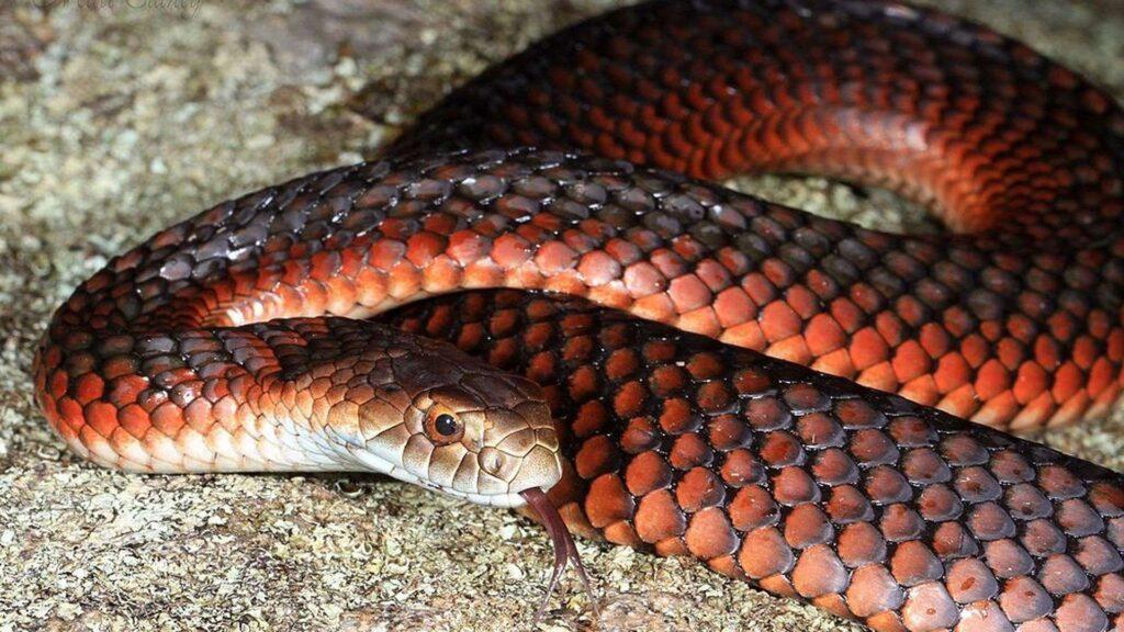 9 Cobras mais perigosas e venenosas do mundo 25