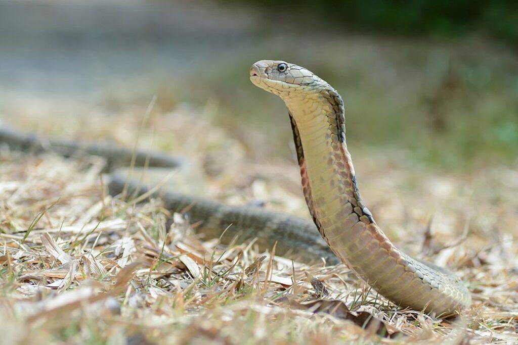 9 Cobras mais perigosas e venenosas do mundo 27