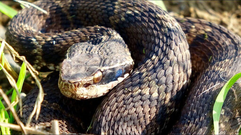 9 Cobras mais perigosas e venenosas do mundo 23